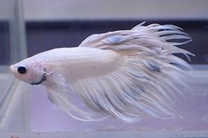 1704 江戸川区観賞魚フェア_beta_クラウンテールホワイト.JPG