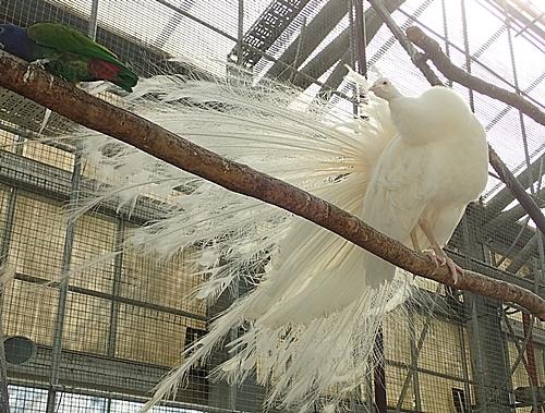 171230掛川花鳥園シロクジャク.JPG