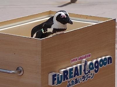 180505 八景島シーパラダイス50 ペンギンふれあい.JPG