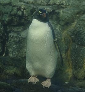 180505 八景島シーパラダイス71 イワトビペンギン.JPG