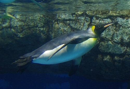 180505 八景島シーパラダイス71 キングペンギン.JPG