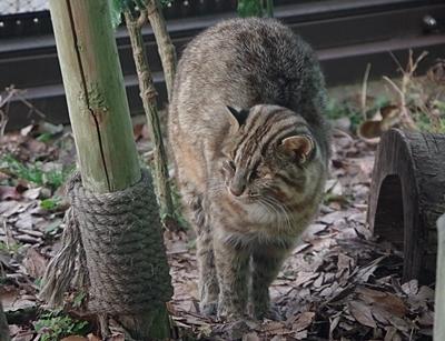 190103 東山zoo_ツシマヤマネコ1.JPG