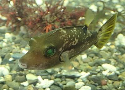 190601 東大水族館0518 (211)キタマクラ.JPG
