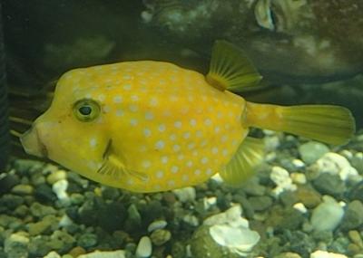 190601 東大水族館0518 (216)ハコフグ.JPG