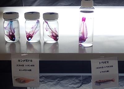 190601 東大水族館0518(239)透明標本.JPG