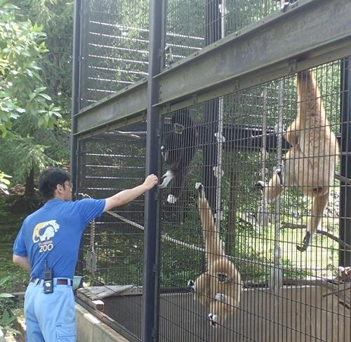 いしかわ動物園_シロテテナガザル_えさやり.JPG