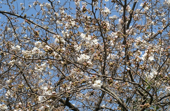 130319 桜開花.JPG