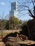 160331天王寺動物園ハルカスライオン.JPG