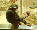 160716 円山動物園 チンパンジー.JPG