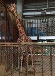 160716 円山動物園 熱帯動物館 中キリン.JPG