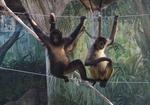 1709江戸川区自然動物園 11ジェフロイクモザル.JPG