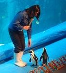 1803箱根園水族館 (16)ケープペンギンお散歩.JPG