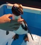 1803箱根園水族館 (16)ケープペンギンお散歩2記念写真.JPG