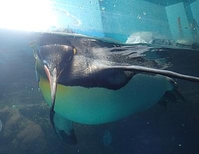 1803箱根園水族館 (20)泳ぐ3キング_カメラ目線.JPG