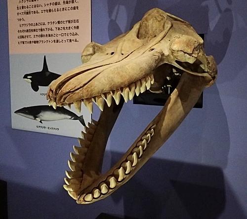 1904 科博_哺乳類展2_40 動くシャチの頭部骨格.JPG
