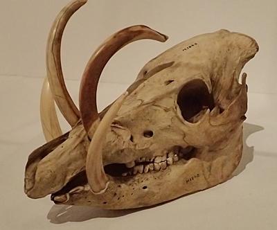 1904 科博_哺乳類展2_80 セレベスバビルサ.JPG