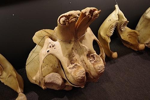 1904 科博_哺乳類展2_90頭骨.JPG