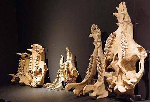 1904 科博_哺乳類展2_90頭骨2.JPG