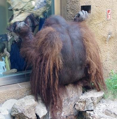 いしかわ動物園_オランウータン体毛は逆モヒカン.JPG