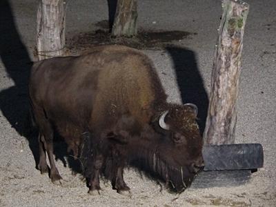 s170818東山動物園ナイト10 アメリカバイソン.JPG