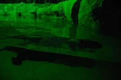 s170818東山動物園ナイト10ビーバー泳.JPG