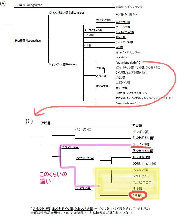 鳥分類表トキコウノトリ_130216.jpg