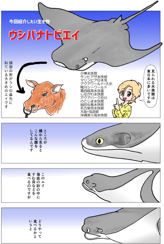 ウシバナトビエイ紹介1.png