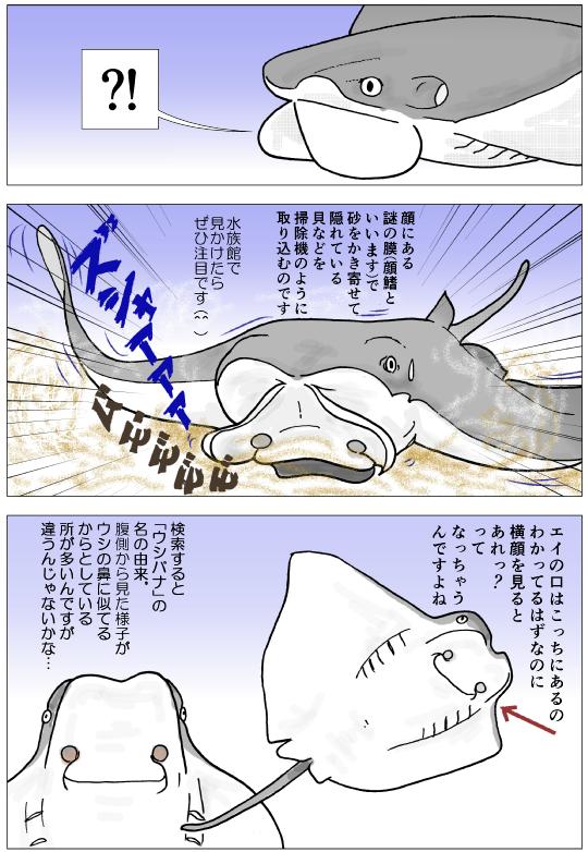 ウシバナトビエイ紹介2.png