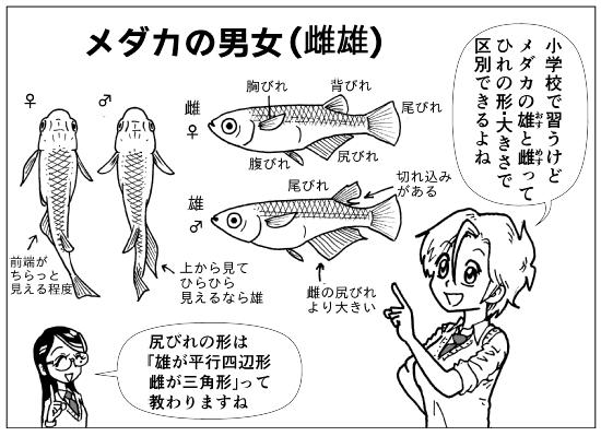 メダカの雄雌p01-1.png
