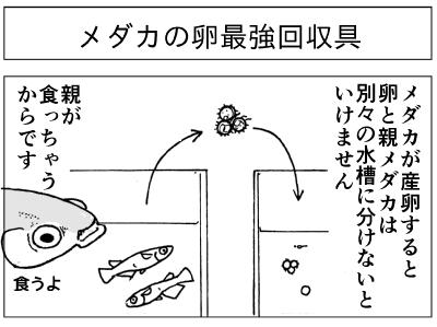 メダカ卵回収1.png