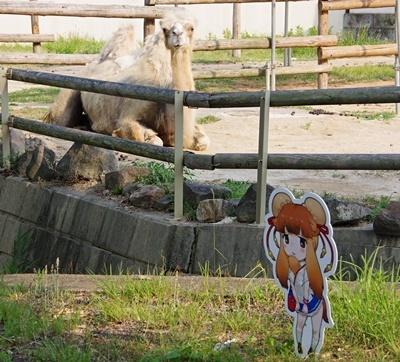 東武動物公園フタコブラクダ&看板.JPG
