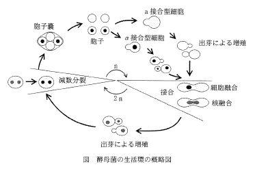 2008東京医歯_酵母生活環