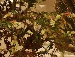 150718 ウルトラ植博10斑入り石化杉.JPG