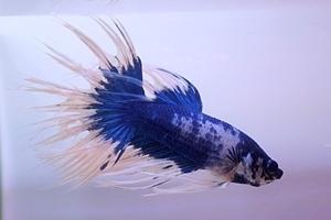 1704 江戸川区観賞魚フェア_beta_クラウンテールブルーギャラクシー.JPG