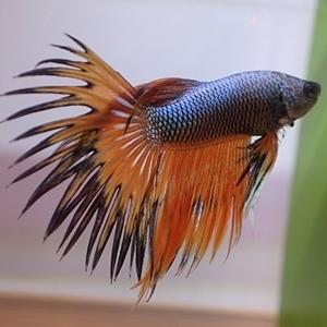 1704 江戸川区観賞魚フェア_beta_クラウンテールマルチオレンジ.JPG