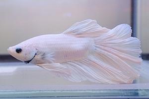 1704 江戸川区観賞魚フェア_beta_ハーフムーンホワイト.JPG