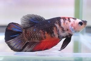 1704 江戸川区観賞魚フェア_beta_プラカットコイカラー黒.JPG