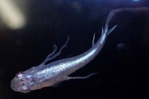 1704 江戸川区観賞魚フェア_medaka_幹之ヒレ長メダカ.JPG