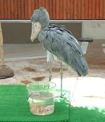 171230掛川花鳥園ハシビロコウ餌に迫る.JPG