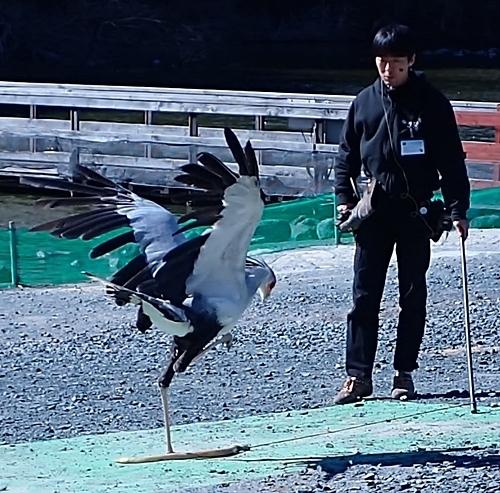 171230掛川花鳥園バードショー_ヘビクイワシ.JPG