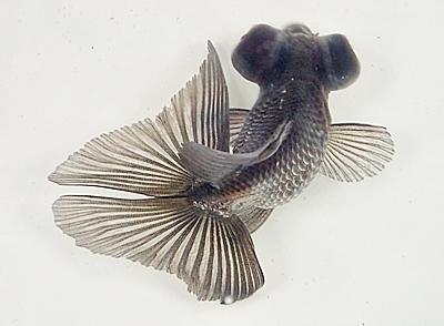 180414日本観賞魚フェア05 金魚_蝶尾.JPG