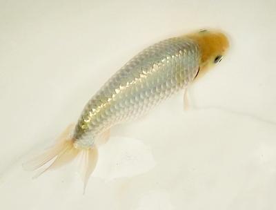 180414日本観賞魚フェア05 金魚_銀魚.JPG