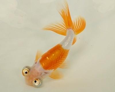 180414日本観賞魚フェア05 金魚_頂天眼.JPG