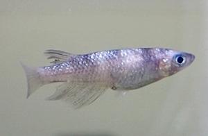 180414日本観賞魚フェア10 メダカ_メヒカリっぽいやつ.JPG