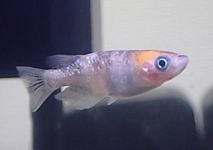 180414日本観賞魚フェア10 メダカ_三色.JPG