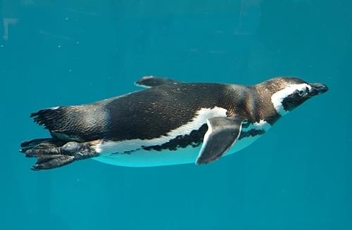 180505 八景島シーパラダイス60 マゼランペンギン.JPG