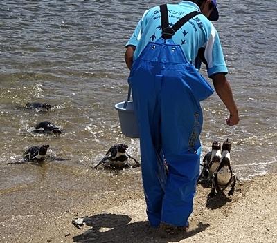 180722長崎ペンギン水族館60フンボルトペンギン_ビーチでのお食事.JPG