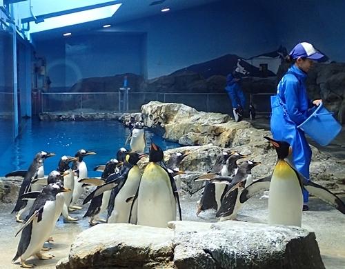 180722長崎ペンギン水族館65ペンギンお食事タイム_ジェンツーペンギン.JPG