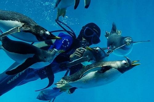 180722長崎ペンギン水族館85ダイバーとペンギン食事タイム2.JPG