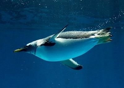 180722長崎ペンギン水族館90水中ジェンツー.JPG